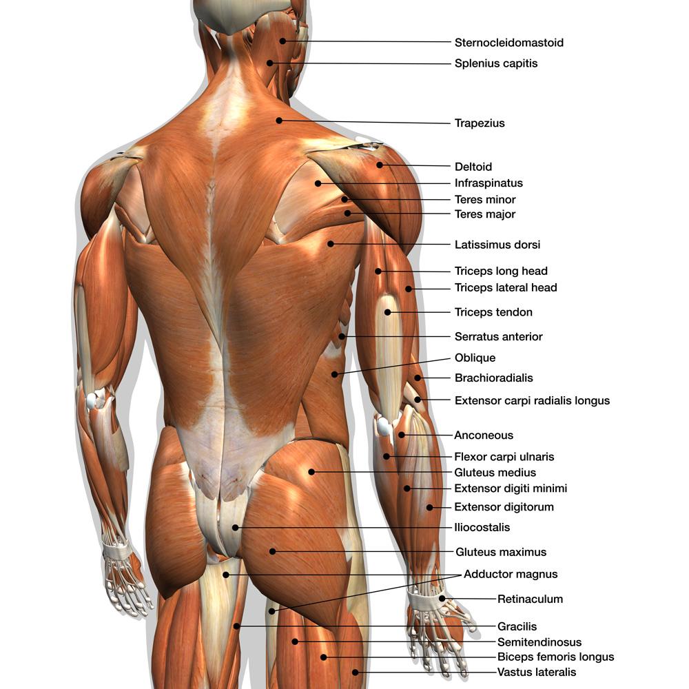 Trapezius muscle | Best Trapezius stretch
