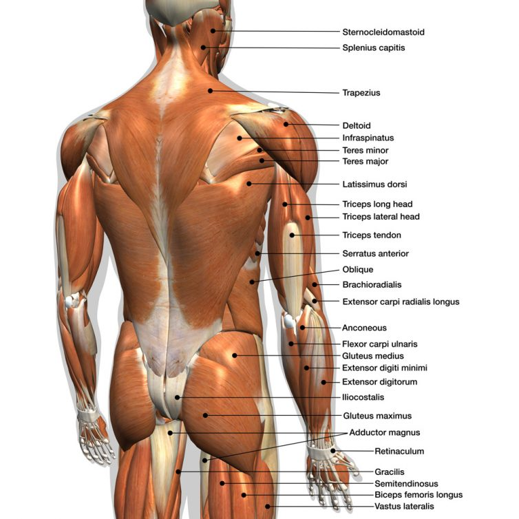 Best Latissimus Dorsi or the Lat. muscle or the Lats stretch
