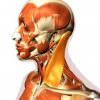 Sternocleidomastoid or SCM muscle | Lateral view